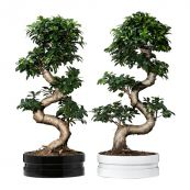 Potted Bonsai Plants
