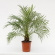Miniature Date Palm Plant