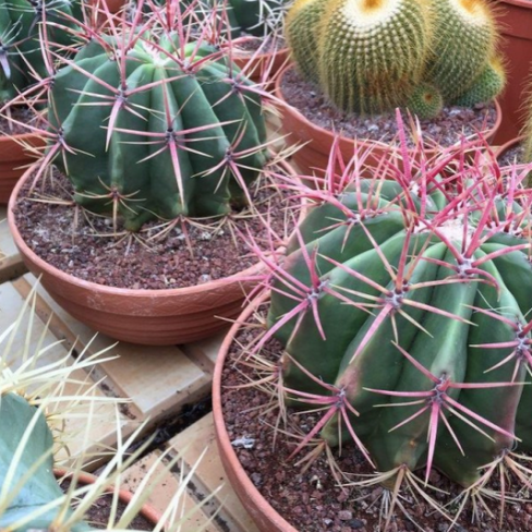Cacti in a Terracotta Bowl