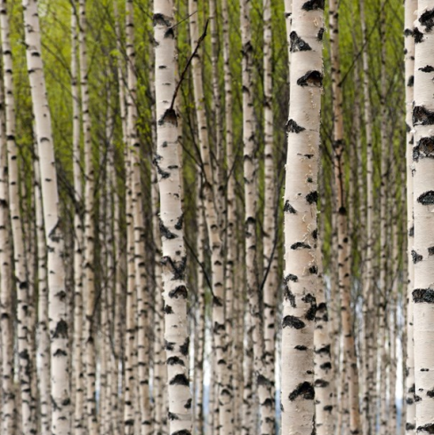 Grove of Birch Trees Wallpaper Panel